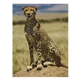 Cheetah resting, Acinonyx jubatus, Masai Mara, Postcard