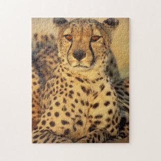 Cheetah, Resting male Jigsaw Puzzle
