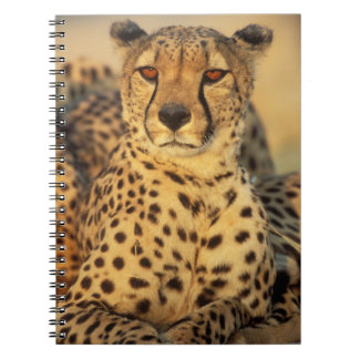 Cheetah, Resting male Notebook