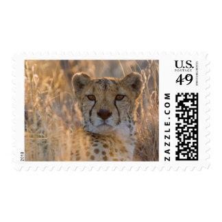 Cheetah Resting male Postage