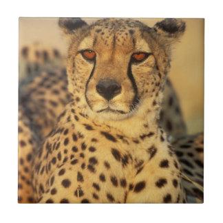 Cheetah, Resting male Tile