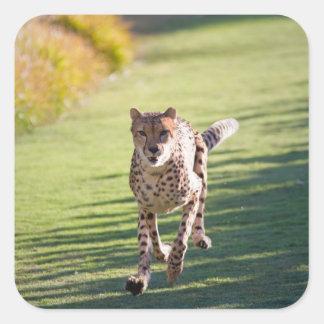 Cheetah Running Stickers
