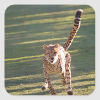 Cheetah Running Square Stickers