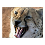 Cheetah Snarl Postcards
