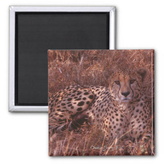 Cheetah Stare Magnet