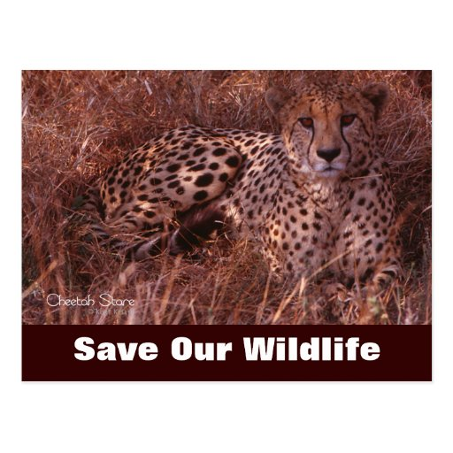 Cheetah Stare, Save Our Wildlife Postcard | Zazzle