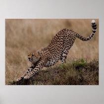 Cheetah Stretch Poster
