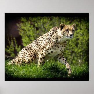 Cheetah Wild Cat Animal-Lover Wildlife Poster