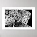 Cheetahs #1 print