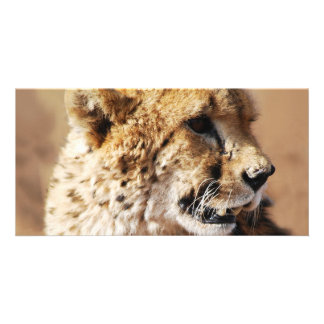 Cheetahs beauty in Africa Photo Card