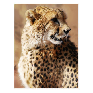 Cheetahs beauty in Africa Postcard