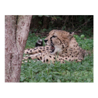 Cheetah's breath post cards