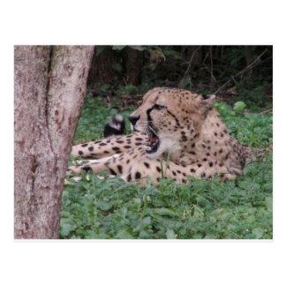 Cheetah's breath postcards