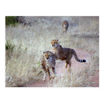 Cheetahs in Namibia Postcard