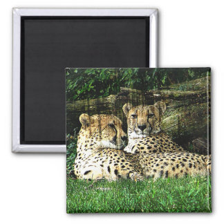 Cheetahs Lounging Grunge 2 Inch Square Magnet