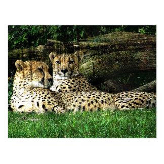 Cheetahs Lounging Grunge Postcard