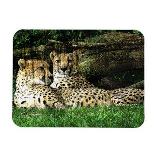 Cheetahs Lounging Grunge Rectangular Photo Magnet
