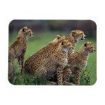 Cheetahs Magnet
