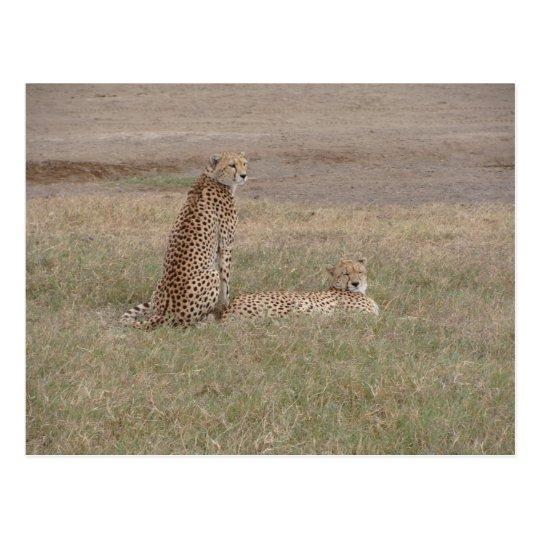Cheetahs-Ngorongoro Crater Postcard