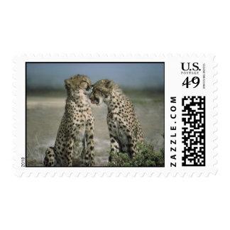 Cheetahs Postage Stamp