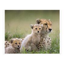 Cheetahs Prospering Postcard