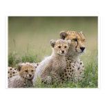 Cheetahs Prospering Postcards