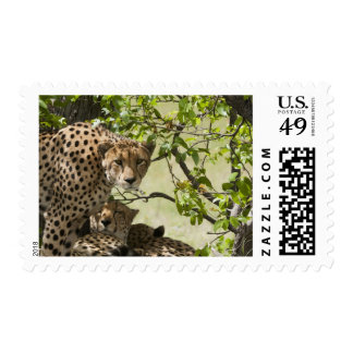 Cheetahs rest in the shade postage
