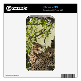 Cheetahs rest in the shade decal for iPhone 4