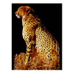 Cheetahs stance postcards