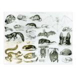 Cheiroptera, Insectivora Post Cards