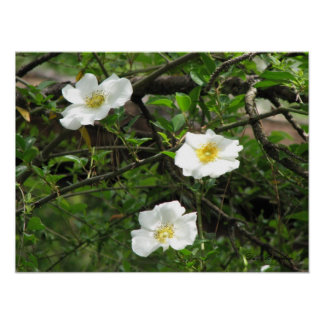 Cherokee Old Climbing Rose Poster