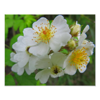 Cherokee Rose Photo Poster