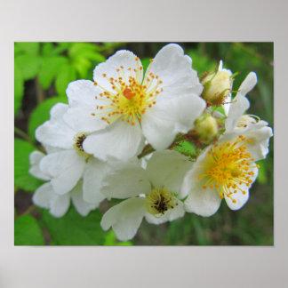 Cherokee Rose Photo Poster