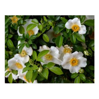 Cherokee Rose Postcard