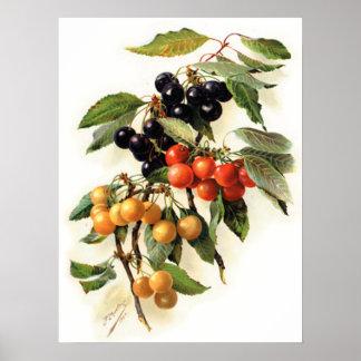 Cherries Botanical Print