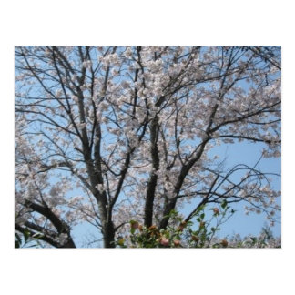cherry blossom 1 postcard