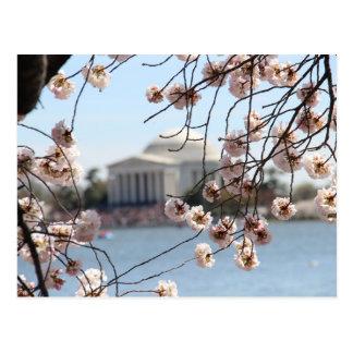 Cherry Blossom 2015 in DC Postcard
