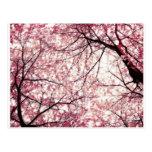 cherry blossom 2 post cards