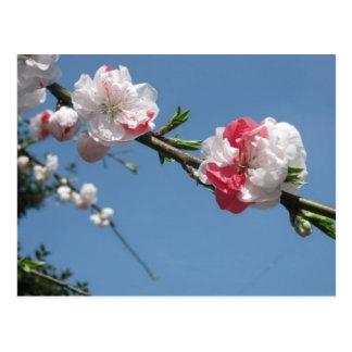 cherry blossom 3 postcard