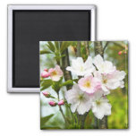 Cherry blossom 4 refrigerator magnets