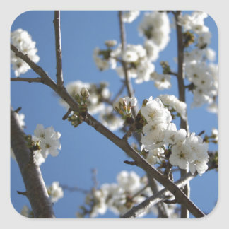Cherry Blossom Branches Against Blue Sky Square Stickers