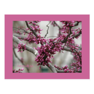 Cherry Blossom Buds Postcard