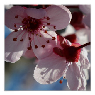 Cherry Blossom Flowers macro photography Poster