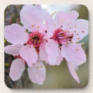 Cherry Blossom Flowers on a Tree Drink Coaster