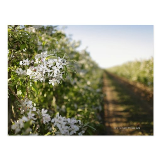 Cherry blossom in orchard of espaliered trees postcard