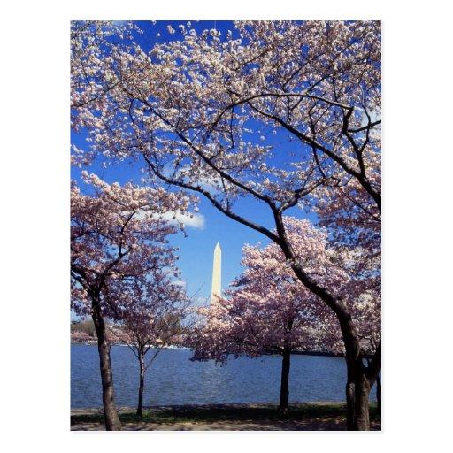 Cherry blossom in Washington DC Post Card