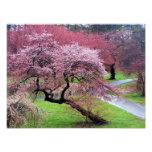 Cherry Blossom Lane Print