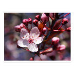 Cherry Blossom Post Card