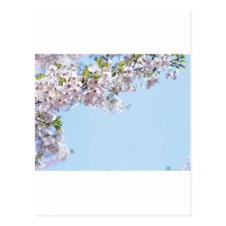 Cherry Blossom Post Cards