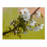 Cherry Blossom Post Cards